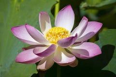 ρόδινο ύδωρ κρίνων λουλο&ups Λουλούδι Lotus στο νησί Μπαλί, Ινδονησία Στοκ Εικόνες