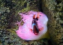 Ρόδινο anemone θάλασσας και clownfish Στοκ φωτογραφία με δικαίωμα ελεύθερης χρήσης