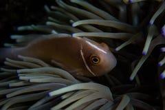 Ρόδινο Anemonefish και ο οικοδεσπότης του Anemone Στοκ φωτογραφία με δικαίωμα ελεύθερης χρήσης