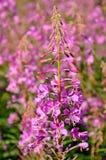 Ρόδινο angustifolium Chamerion λουλουδιών Στοκ φωτογραφίες με δικαίωμα ελεύθερης χρήσης