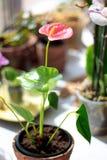 Ρόδινο Anthurium λουλούδι Στοκ φωτογραφίες με δικαίωμα ελεύθερης χρήσης
