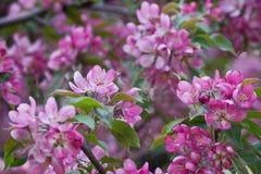 Ρόδινο Apple-δέντρο Στοκ Εικόνες