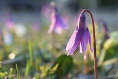 Ρόδινο eritronium λουλουδιών Στοκ Εικόνες