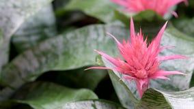 Ρόδινο fasciata Bromeliad Aechmea στον τομέα λουλουδιών απόθεμα βίντεο