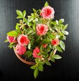 Ρόδινο flowerpot τριαντάφυλλων Στοκ φωτογραφία με δικαίωμα ελεύθερης χρήσης