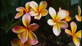 Ρόδινο frangipani φιλμ μικρού μήκους