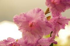 Ρόδινο gladiolus Στοκ Εικόνες