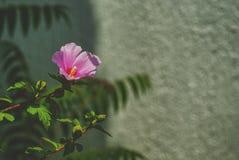 Ρόδινο hibiscus λουλούδι στο υπόβαθρο τοίχων hibiscus sinensis Rosa στοκ φωτογραφία με δικαίωμα ελεύθερης χρήσης