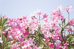 Ρόδινο oleander στοκ φωτογραφία με δικαίωμα ελεύθερης χρήσης