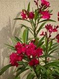 Ρόδινο Oleander - λουλούδια κήπων - Ile de Puteaux, Γαλλία Στοκ Φωτογραφίες