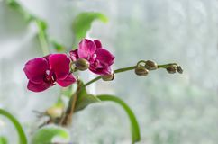 Ρόδινο Orchid λουλούδι Στοκ Φωτογραφίες
