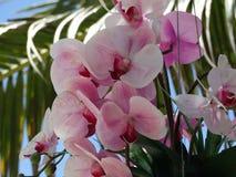 Ρόδινο Orchid Στοκ φωτογραφία με δικαίωμα ελεύθερης χρήσης
