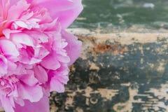 Ρόδινο peony λουλούδι στο πράσινο υπόβαθρο grunge Στοκ Φωτογραφία