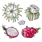 Ρόδινο pitaya Θερινά τροπικά τρόφιμα για τον υγιή τρόπο ζωής Κόκκινα ολόκληρα φρούτα δράκων και μισός, λουλούδι διανυσματική απεικόνιση