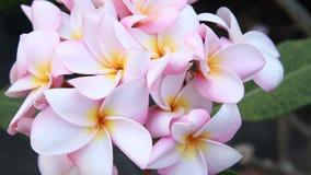 Ρόδινο plumeria, λουλούδια frangipani στο φυσικό φως