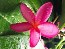 Ρόδινο Plumeria λουλούδι Χαβάη Στοκ Εικόνα