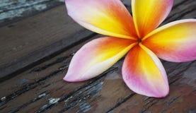 ρόδινο plumeria frangipani λουλουδιών Στοκ Εικόνες