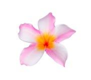 ρόδινο plumeria frangipani λουλουδιών Στοκ Εικόνα