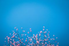 Ρόδινο prunus ανθών άνοιξη λουλουδιών στοκ εικόνες με δικαίωμα ελεύθερης χρήσης