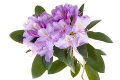 ρόδινο rhododendron αζαλεών Στοκ φωτογραφία με δικαίωμα ελεύθερης χρήσης