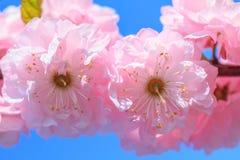 Ρόδινο sakura ανθών Στοκ φωτογραφία με δικαίωμα ελεύθερης χρήσης