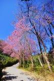 ρόδινο sakura Ταϊλάνδη λουλο&upsilon Στοκ φωτογραφίες με δικαίωμα ελεύθερης χρήσης