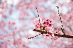 ρόδινο sakura Στοκ φωτογραφία με δικαίωμα ελεύθερης χρήσης