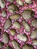 ρόδινο syringa πετρών πετάλων στοκ φωτογραφίες