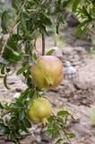 Ρόδι, δέντρο ροδιών με τα πράσινα ανώριμα φρούτα στοκ εικόνα