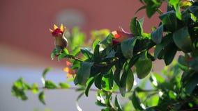 Ρόδι, οπωρωφόρο δέντρο απόθεμα βίντεο