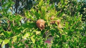 Ρόδι Fruite στους κλάδους που κινούνται στον αέρα απόθεμα βίντεο