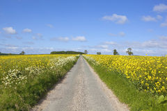 Δρόμος μέσω των τομέων μουστάρδας Στοκ φωτογραφία με δικαίωμα ελεύθερης χρήσης