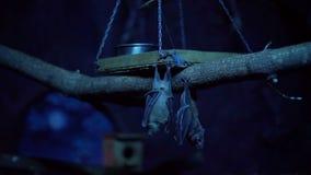 Ρόπαλα που κρεμούν ανάποδα σε έναν κλάδο απόθεμα βίντεο