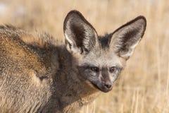 Ρόπαλο-έχοντα νώτα megalotis Otocyon αλεπούδων Στοκ εικόνες με δικαίωμα ελεύθερης χρήσης