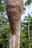 Ρόπαλα Περού Proboscis Στοκ Εικόνες