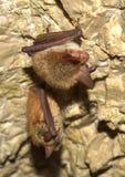 Ρόπαλο Bechstein (bechsteinii Myotis) Στοκ Εικόνες
