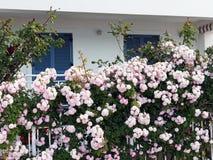 Ρόδινα άγρια τριαντάφυλλα στον μπροστινό φράκτη στοκ εικόνες