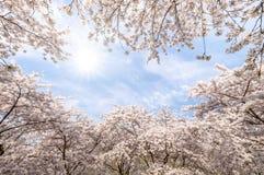 Ρόδινα άνθη άνοιξη sakura λουλουδιών Στοκ εικόνες με δικαίωμα ελεύθερης χρήσης