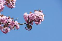 Ρόδινα άνθη κερασιών Στοκ Εικόνες