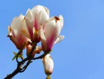 Ρόδινα άνθη Στοκ φωτογραφία με δικαίωμα ελεύθερης χρήσης