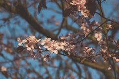 Ρόδινα άνθη Στοκ Εικόνα