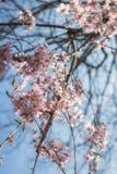 Ρόδινα άνθη Στοκ Εικόνες