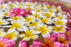 Ρόδινα άσπρα και κίτρινα λουλούδια plumeria ή frangipani Στοκ Εικόνες