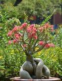 Ρόδινα δέντρο και λουλούδια Plumeria στον κήπο Στοκ Εικόνα