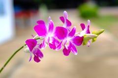 Ρόδινα ή πορφυρά λουλούδια ορχιδεών, βασίλισσα ορχιδεών των λουλουδιών Στοκ Φωτογραφία