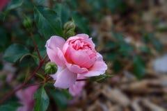 Ρόδινα αγγλικά άνθισης αυξήθηκε στον κήπο μια ηλιόλουστη ημέρα Ο Δαβίδ Ώστιν αυξήθηκε Anne Boleyn Στοκ εικόνες με δικαίωμα ελεύθερης χρήσης