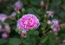 Ρόδινα αγγλικά άνθισης αυξήθηκε στον κήπο μια ηλιόλουστη ημέρα Ο Δαβίδ Ώστιν αυξήθηκε Anne Boleyn Στοκ φωτογραφίες με δικαίωμα ελεύθερης χρήσης