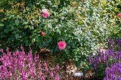 Ρόδινα αγγλικά αυξήθηκε θάμνος στο ρόδινο και πορφυρό υπόβαθρο salvia στον κήπο τη suuny ημέρα Στοκ Εικόνες