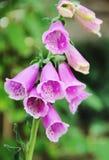 Ρόδινα αυστραλιανά λουλούδια στοκ εικόνες με δικαίωμα ελεύθερης χρήσης