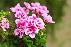 Ρόδινα γεράνια ενός λουλουδιού flowerpot Στοκ Εικόνες